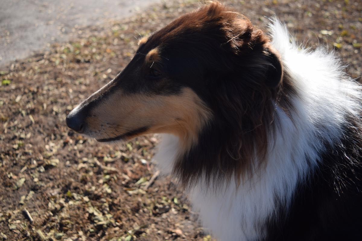 APCO chien